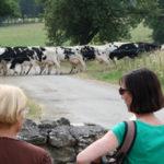 Rentrée des vaches pour la traite